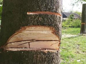 Eine tiefe Kerbe hat der dreiste Täte in die Bäume eingeschnitten.