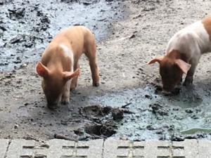 Die drei kleinen Schweinchen sind in Eickel geboren. ©Nina-Maria Haupt, Stadt Herne