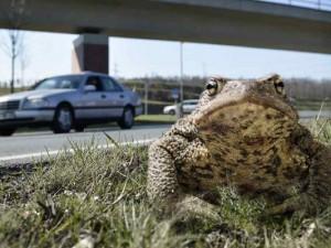 Kröten und andere Amphibien queren die Straßen. ©Thomas Schmidt, Stadt Herne