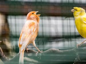 Im Minizoo Eickel lebten 30 bis 40 Kanarienvögel. ©Thomas Schmidt, Stadt Herne