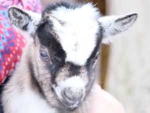 Ein wenige Tage altes Zwergziegen-Baby im Minizoo Eickel ©Nina-Maria Haupt, Stadt Herne