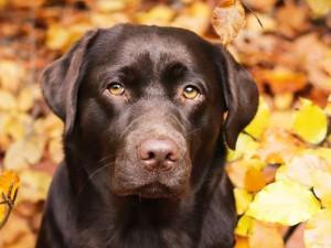 Labrador_02