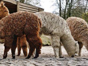 Die vier Alpakas - das niedliche Tier ganz links mit den dunklen Füßen ist der inherne-Vierbeiner. ©Thomas Schmidt, Stadt Herne